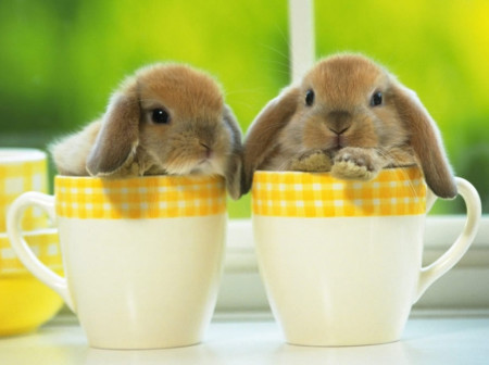 домашние декоративные кролики породы
