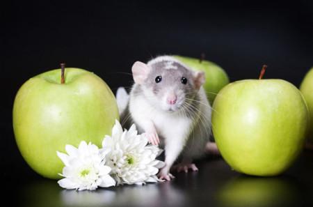Крыса и яблоки