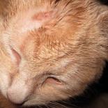 Как лечить стригущий и другие виды лишая у кошек