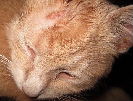 лишай у кошек стригущий лечение симптомы