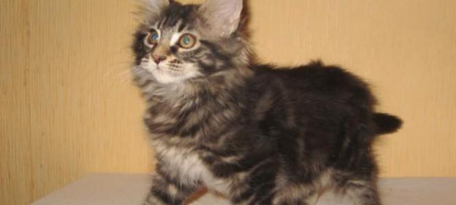 Кошки и котята породы мейн кун: характеристика, содержание