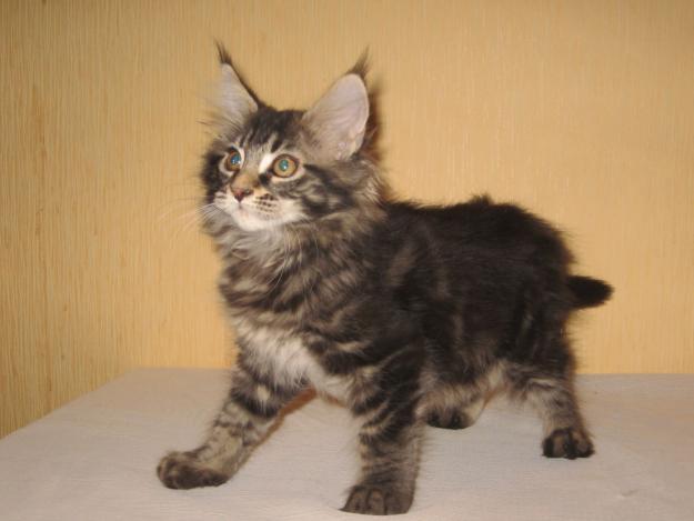 Котята мейн кун особенности породы