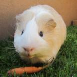 Что едят морские свинки: выбираем корм