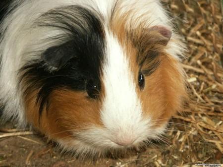 Все о морских свинках в домашних условиях отзывы 686