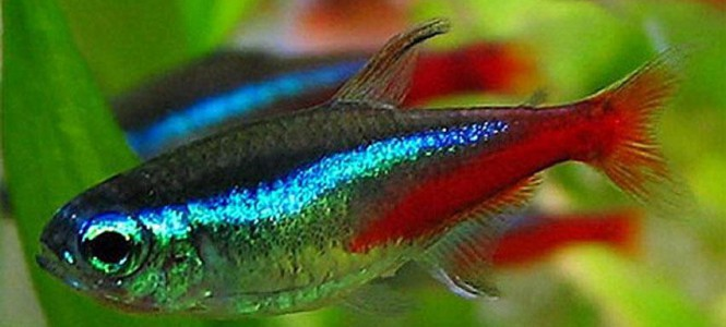 Рыбки неоны: содержание и совместимость с другими видами