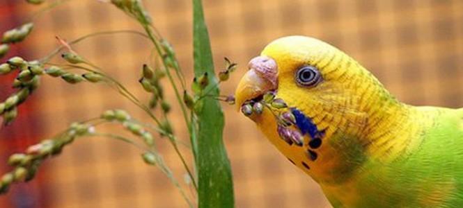 Чем кормить попугая: выбираем правильный корм