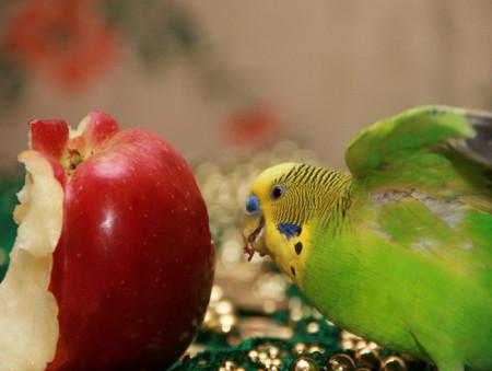 попугая рио питание питаются как