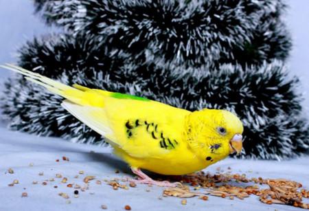 питаются как корм кормление попугая
