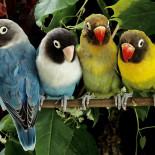 Особенности различных пород говорящих попугаев