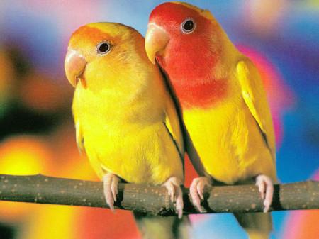 говорящий попугай неразлучники