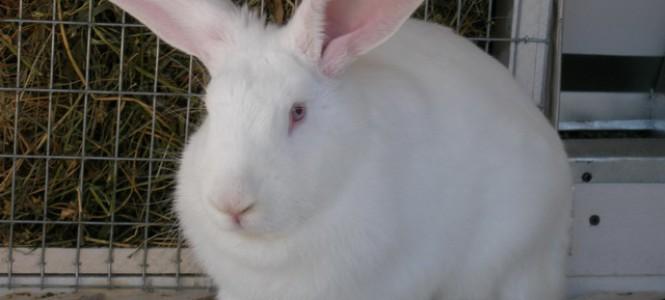 Кролики: особенности породы белых и серых великанов