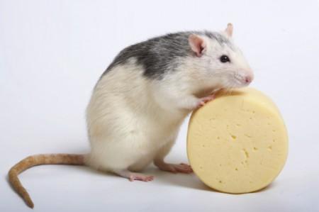 rat6(1)