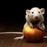 Декоративная домашняя крыса: уход и содержание
