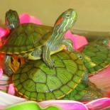 Правильное содержание красноухой черепахи в аквариуме