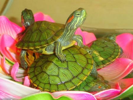 Обустраиваем аквариум для красноухой черепахи своими руками 120
