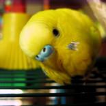 Как согреть попугая дома?