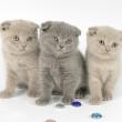 британская вислоухая кошка порода характер