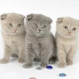 Британская вислоухая кошка: характеристика породы