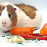 Чем кормить морскую свинку: выбираем корм