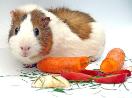 чем кормить морскую свинку питание кормление