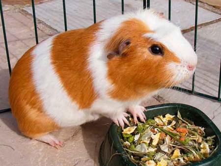 питание морских свинок правила кормления