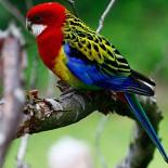 Попугай розелла: правильное содержание, питание и уход