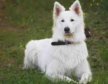 Описание белой швейцарской овчарки