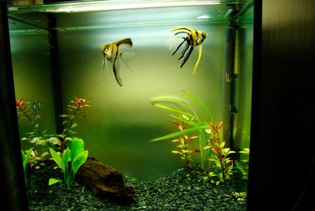 Аквриумные рыбки скалярии содержание