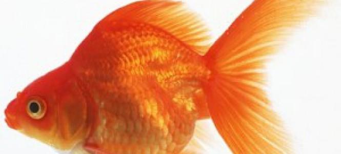 Совместимость аквариумных рыбок: как правильно?