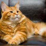 Породы больших кошек: особенности и характеристики