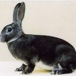 Кролики породы рекс: особенности ухода и содержания