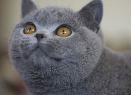 История разведения шотлндских кошек