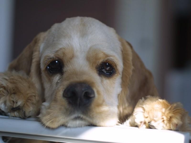 блошиная аллергия у собак симптомы