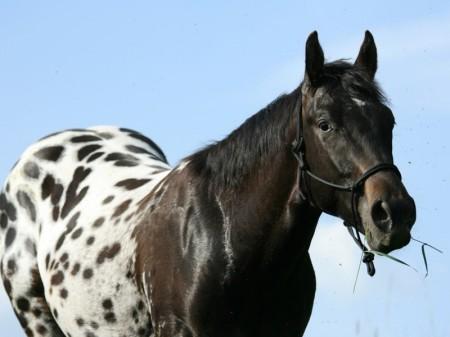 Чубарый конь стоит