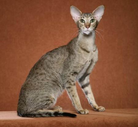 Ориентальные кошки история породы