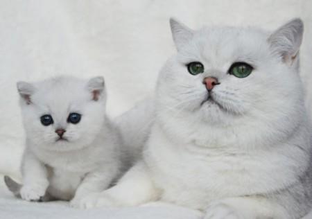 Характер британских кошек и котов
