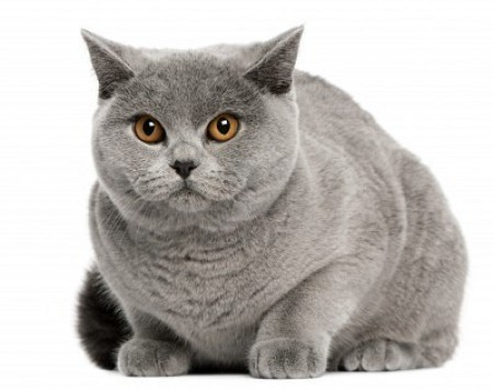 Характер по окрасу котов