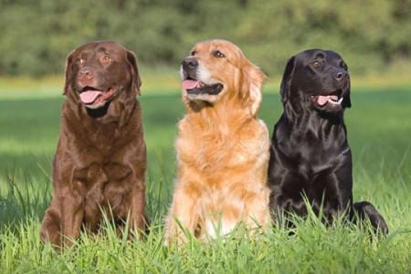 Общая характеристика породы собак лабрадор