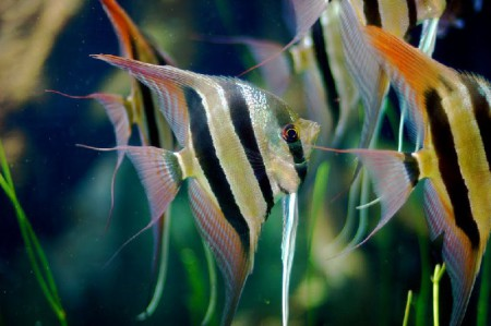 Аквриумные рыбки скалярии разведение
