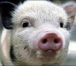 Породы свиней: особенности и характеристики
