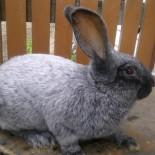 Породы кроликов: особенности породы, питание, содержание