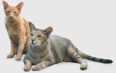 Особенности содержания короткошерстных пород кошек