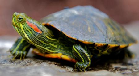 Правила содержания красноухих черепах