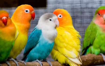 Какие породы могут создать хорошую конкуренцию волнистым попугаям