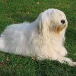 Характеристика породы южнорусская овчарка