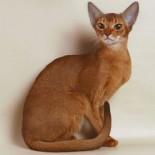 Особенности и содержание короткошерстных пород кошек