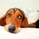 Кастрация собак: виды, медицинские показания, особенности