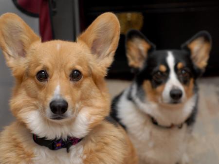 Корги порода собак сторожевая размер и вес