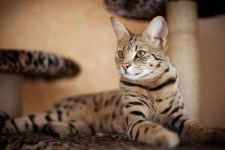 История создания кошек Саванна