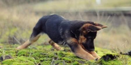 Игрушки щенка немецкой овчарки